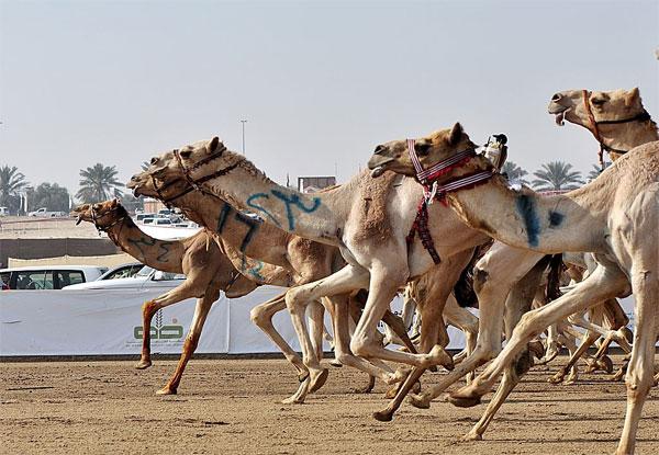 Camel Racing UAE