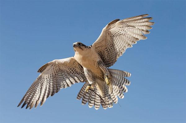 UAE National Bird