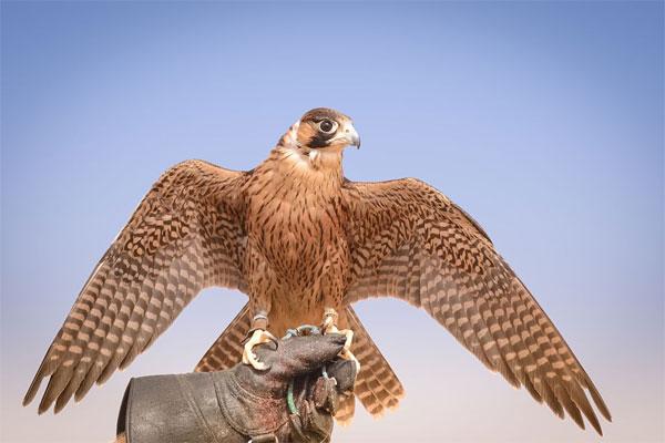 UAE National Sport Falcony
